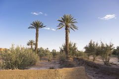 Oasis in the desert. Palm trees in an oasis in the desert of Morocco Royalty Free Stock Photo