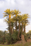Oasis in the desert. Palm trees in an oasis in the desert of Morocco Stock Photography