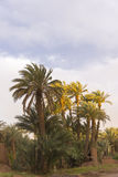 Oasis in the desert. Palm trees in an oasis in the desert of Morocco Stock Image