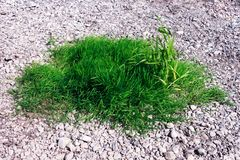 Oasis of green grass growing between pebbles royalty free stock images