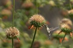 Hummingbird in the Azapa Valley, Chile Royalty Free Stock Images
