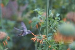 Hummingbird in the Azapa Valley, Chile. Oasis Hummingbird [Rhodopis vesper] in flight, feeding on orange flowers at the Hummingbird Sanctuary in the Azapa Valley Stock Images