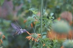 Hummingbird in the Azapa Valley, Chile. Oasis Hummingbird [Rhodopis vesper] in flight, feeding on orange flowers at the Hummingbird Sanctuary in the Azapa Valley Royalty Free Stock Images