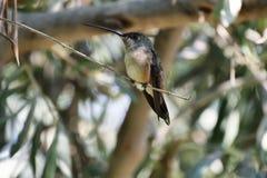 Oasis hummingbird (Rhodopis vesper) Royalty Free Stock Images