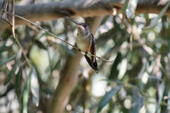 Oasis hummingbird (Rhodopis vesper). Perched in a branch, Azapa valley, Chile Stock Photo