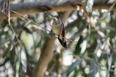 Oasis hummingbird (Rhodopis vesper) Stock Photo