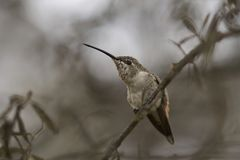 Hummingbird in the Azapa Valley, Chile. Oasis Hummingbird [Rhodopis vesper] perched on a plant at the Hummingbird Sanctuary in the Azapa Valley near Arica in Stock Image