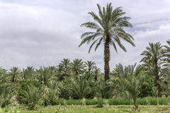 Oasis  in morocco. Palm Trees and cultivated field in the Oasis i Morocco deserts Royalty Free Stock Image
