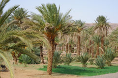 Oasis with palm trees in Morocco Royalty Free Stock Image