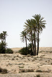 Oasis with palms. In Sahara desert in Tunisia Royalty Free Stock Photography