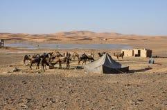 oasis Sahara d'alimentation de désert de chameaux Photographie stock