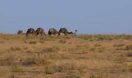The landscape in the Sahara Desert. Camels. Stock Photo
