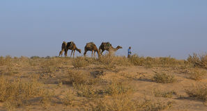 The landscape in the Sahara Desert. Camels. Stock Photos