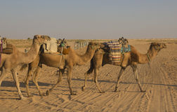 The landscape in the Sahara Desert. Camels. royalty free stock photos