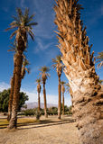 An Oasis of Tropical Trees Furnace Creek Death Valley Royalty Free Stock Photos
