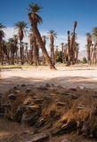 An Oasis of Tropical Trees Furnace Creek Death Valley Stock Image