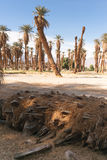 An Oasis of Tropical Trees Furnace Creek Death Valley Royalty Free Stock Photo
