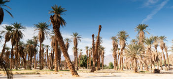An Oasis of Tropical Trees Furnace Creek Death Valley Royalty Free Stock Photography