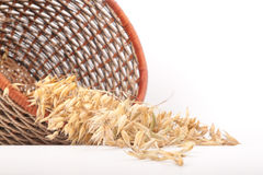 Oat Royalty Free Stock Image