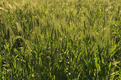 Oat in Agra Royalty Free Stock Images