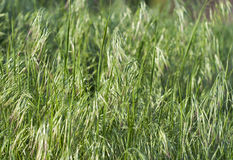 Oat background royalty free stock images
