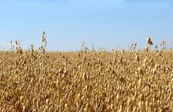A large field of rye in the summer before harvesting royalty free stock image