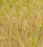 Oat branch in a wheat field Stock Photo