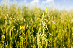 Oat in a cereal field Royalty Free Stock Photos