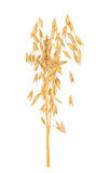Oat cereal grain. Isolated on white background Royalty Free Stock Image