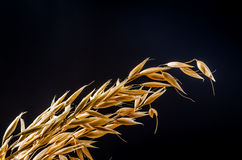 Oat cereal grain on sackcloth. Oat cereal grain on black background, agriculture product Royalty Free Stock Image