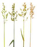 Oat collection Stock Photo