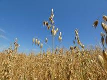 Oat Crop Field Royalty Free Stock Image
