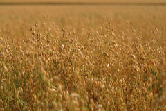 Oat crops field Stock Photos