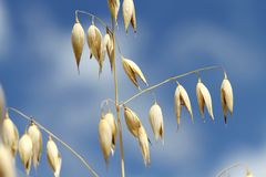 Oat detail Royalty Free Stock Images