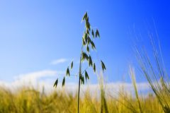 Oat ear in Field on background of dark blue sky Stock Image