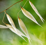 Oat ears Royalty Free Stock Images