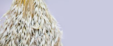 Oat ears stalks bouquet macro view photo. Shallow depth of field, selective focus, copy space.  royalty free stock photography