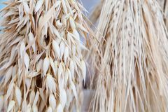 Oat ears stalks bouquet macro view photo. Shallow depth of field, selective focus. Oat ears stalks bouquet macro view photo. Shallow depth of field, selective royalty free stock image