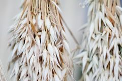 Oat ears stalks bouquet macro view photo. Shallow depth of field, selective focus.  stock image