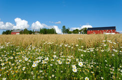 Oat Farm and Daisies. Daisies by the side of an oats field with a Norwegian farm in the background Royalty Free Stock Photos