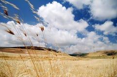 Oat field  Stock Image