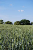 Oat field. In summer at a German farm Stock Photos