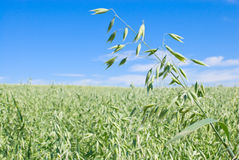 Oat field Royalty Free Stock Photography