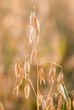 Oat in field Royalty Free Stock Photos