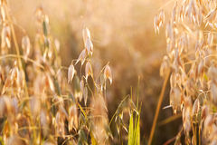Oat in field Royalty Free Stock Images