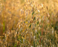 Oat in the field Stock Photos
