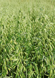 Oat field. Royalty Free Stock Photography