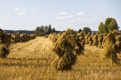 Free Oat Field Royalty Free Stock Photography - 26722037