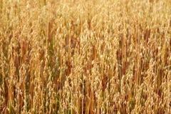 Oat field. Gold oat field in summer Royalty Free Stock Photography