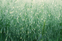 Oat field Royalty Free Stock Images